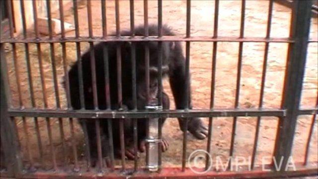 Spitting chimp