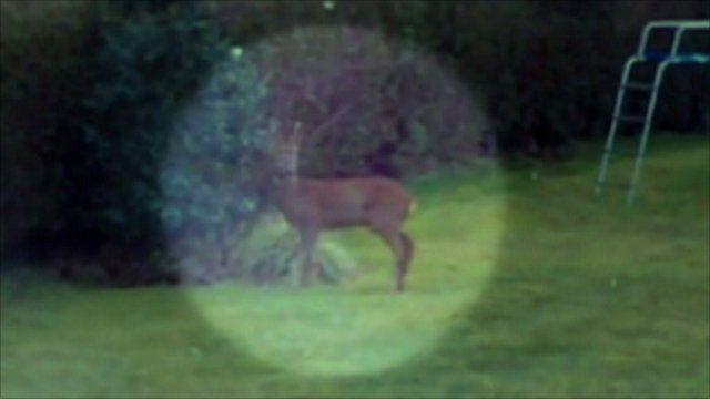 Deer in garden in Sale