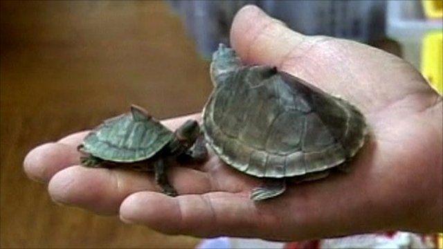 Smuggled turtles