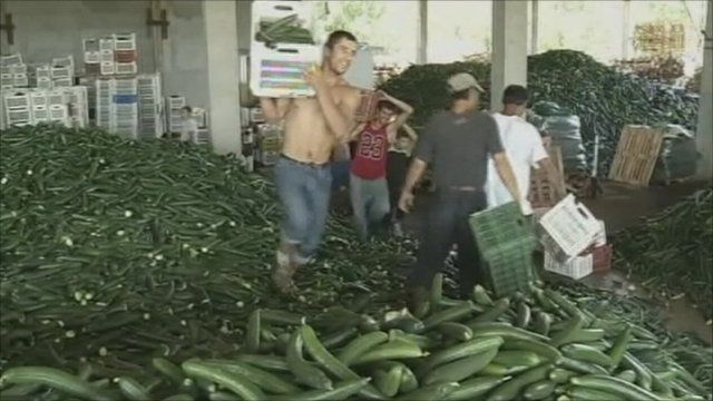 Men dumping cucumbers