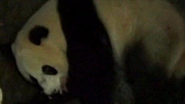 Panda filmed holding newborn cub