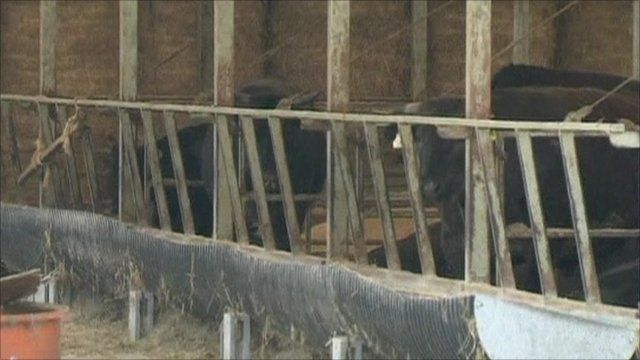 Cattle in Japan