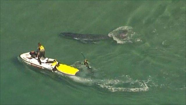 Whale rescue in Australia