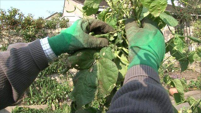 Man picking beans in a garden