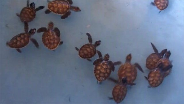Newly born sea turtles in Indonesian national park