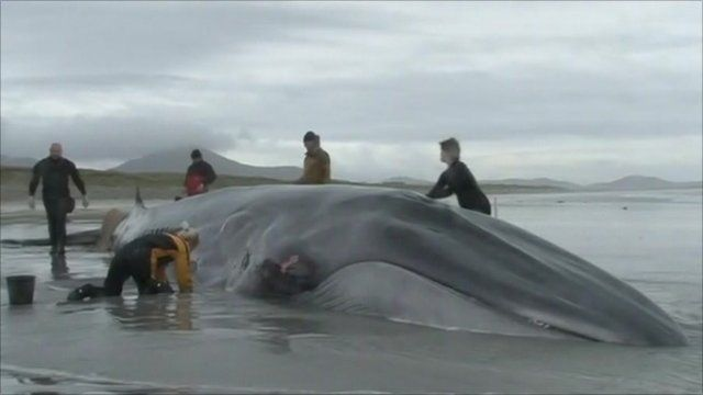 Whale discovered on beach near Gerinish on South Uist