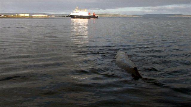Whale in Kirkwall Bay