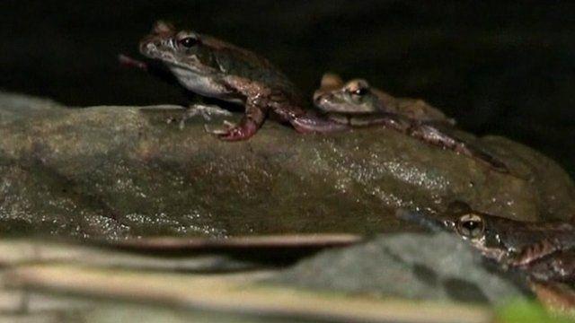 Sauteris frogs