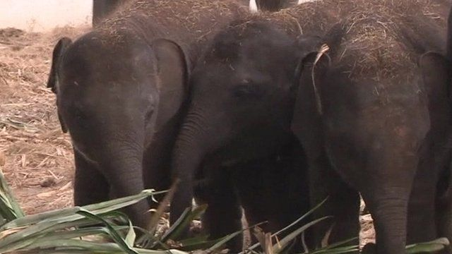Trapped elephants in Thailand