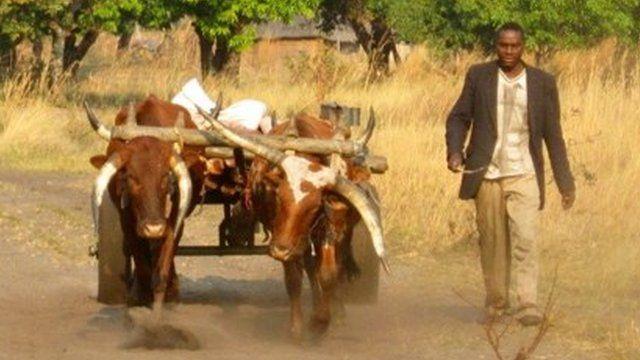 Farmer walking beside his oxen cart in Western Province, Zambia