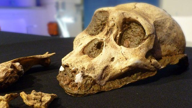 A. sediba replica skull