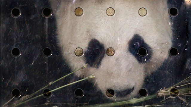 Panda in a glass cage
