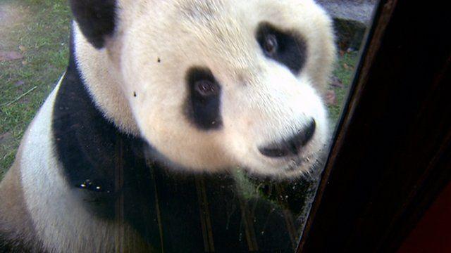 Giant panda Yang Guang