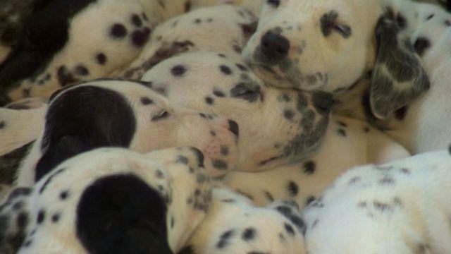 Dalmatian has litter of 15 pups