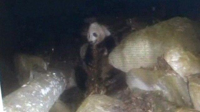 Panda eating meat