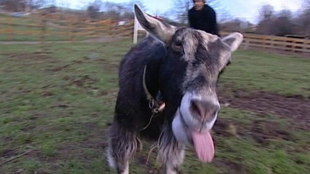 Lucy the goat at Stonebridge City Farm