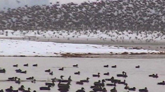 Migratory birds visit Kashmir's wetlands