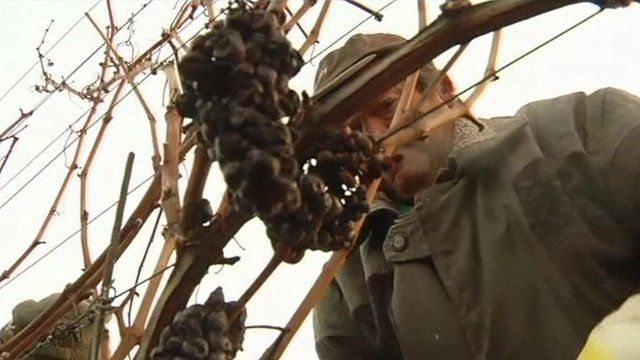 Workers harvesting grapes for ice wine