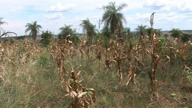 Maize crops suffer from lack of water