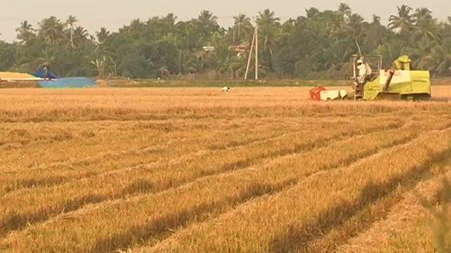 Grain fields being harvested in Kerala