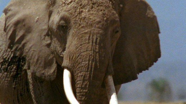 African elephant.