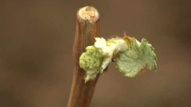 Grape plant