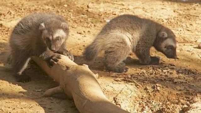 Two of the cubs at Cotswold Wildlife Park
