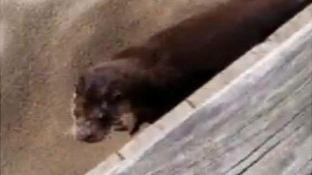 Otter at Summerleaze Beach, Bude