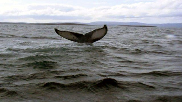 The whale incident happened in the waters of Scapa Flow off Orkney
