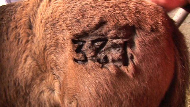 Branding on Exmoor pony