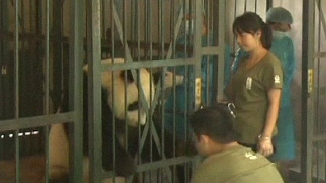 Panda ready for pregnancy check