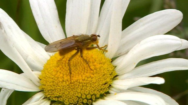 Fly on a flower at Loddington