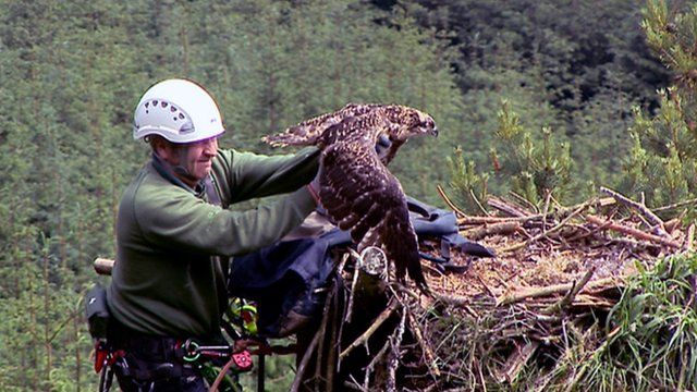 An osprey chick is returned to its nest