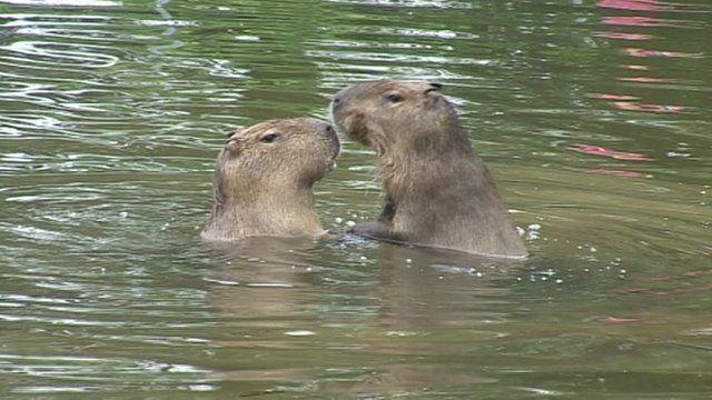 Capybaras at Dartmoor zoo in Devon