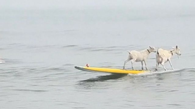 Two goats surfing on a board