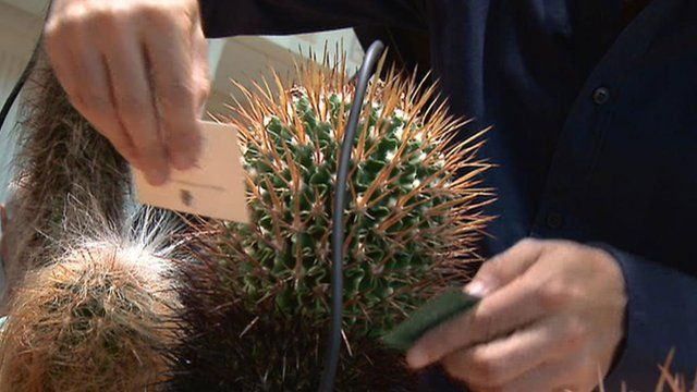 Cactus being used as a musical instrument