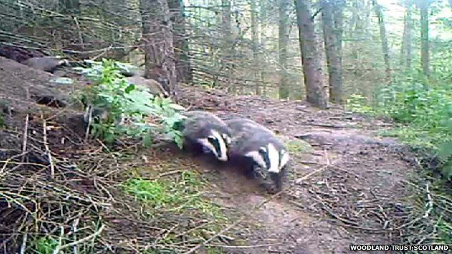 Badgers in woodland