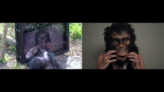 Chimp watching a film made for chimps