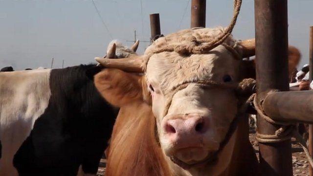 A cow in Kashgar's livestock market, China