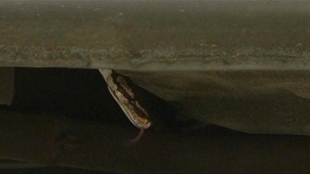 Snake under car