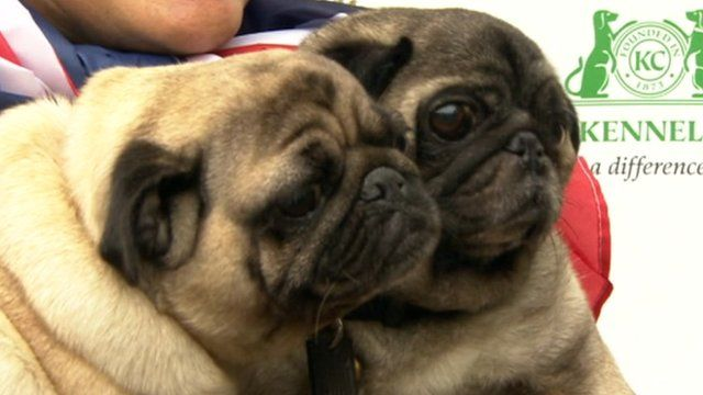 Westminster dog of the year entrants