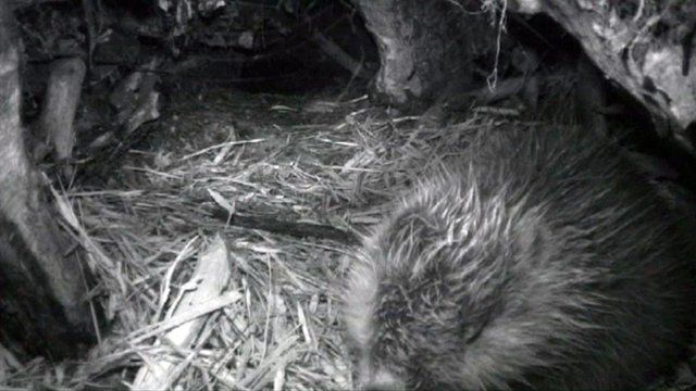 A beaver in its lodge