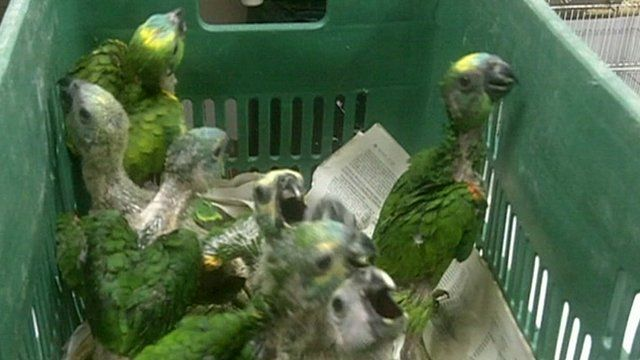 Baby parrots rescued in Brazil