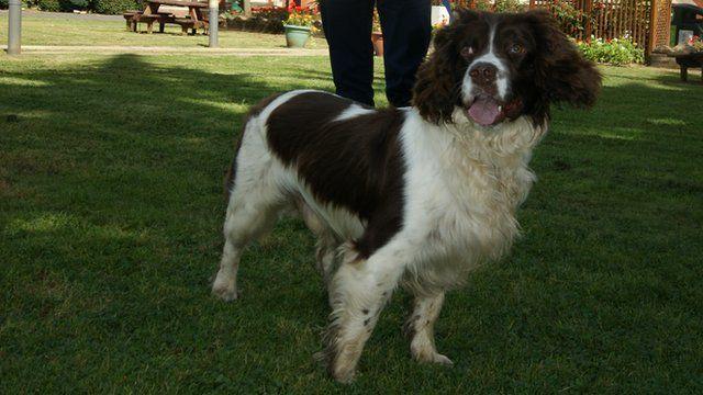 Springer spaniel Paddy, drugs sniffer dog