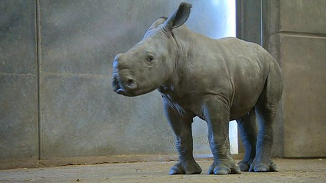 Nijiri the white rhino