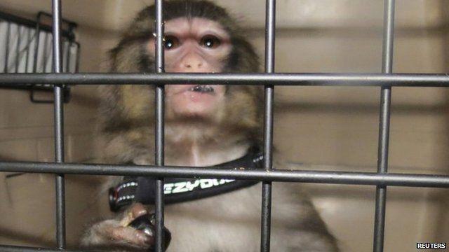 Darwin the monkey - handout photo taken by Toronto Animal Services, 10 December 2012