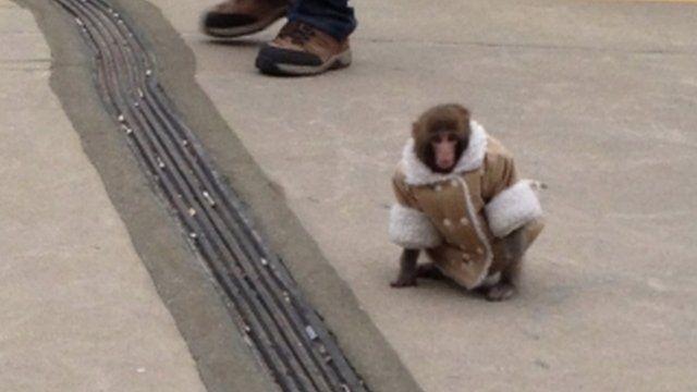 Monkey in a jacket