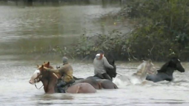 Horses in flood water