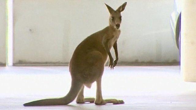 Kangaroo in a car park.