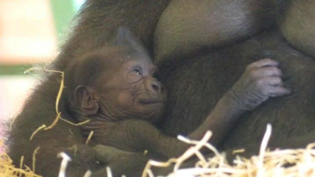 Baby lowland gorilla